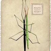 حشرة العصــا