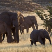 ماذا لو كنتَ فيلًا يعيشُ في إفريقيا؟
